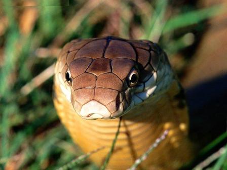 Serpientes Cobra Rey