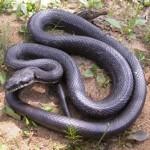 serpiente rata negra