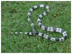 serpiente kraigt azul
