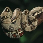 boa-constrictor