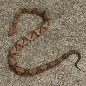 serpiente copperhead