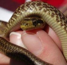 serpiente mascota
