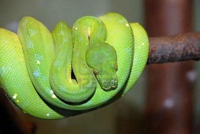 Serpiente Pitn verde de rbol  SERPIENTEPEDIA