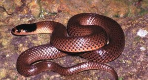 serpiente marron