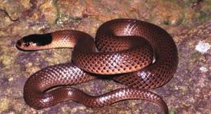 serpiente marron